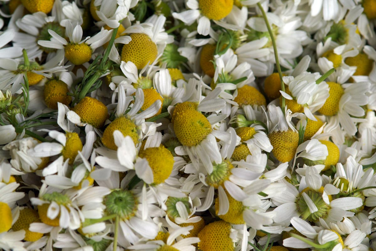 Ausgeputzte Kamillenblüten