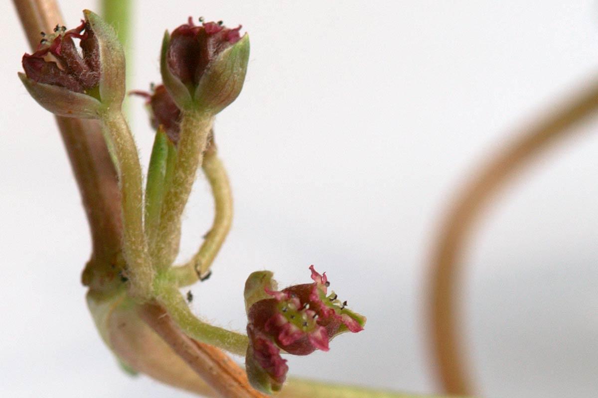 Centella asiatica (Blüten)