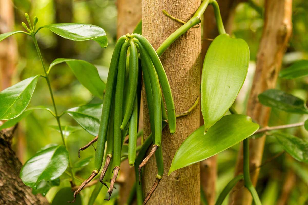 Vanillepflanze mit grünen Schoten