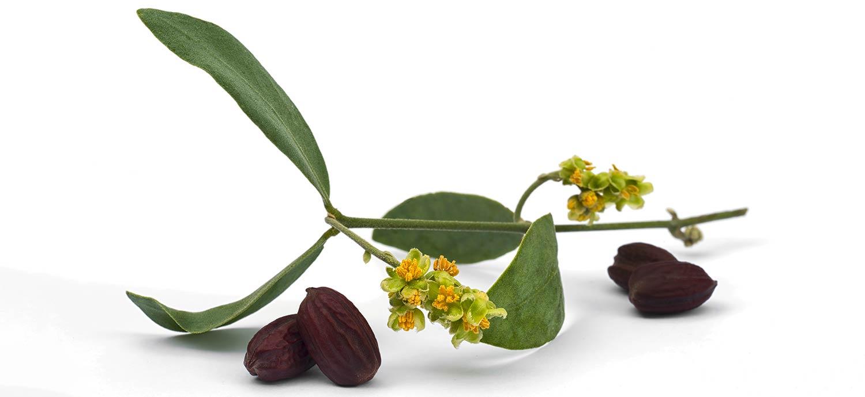 Zweig einer Jojobapflanze mit Blättern, Blüten und Samen