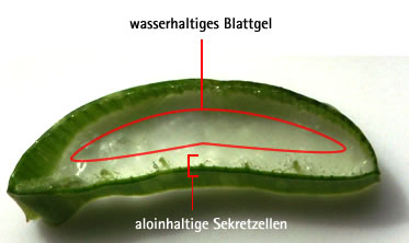 Aloinhaltige Sekretzellen in aufgeschnittenem Aloe-Blatt