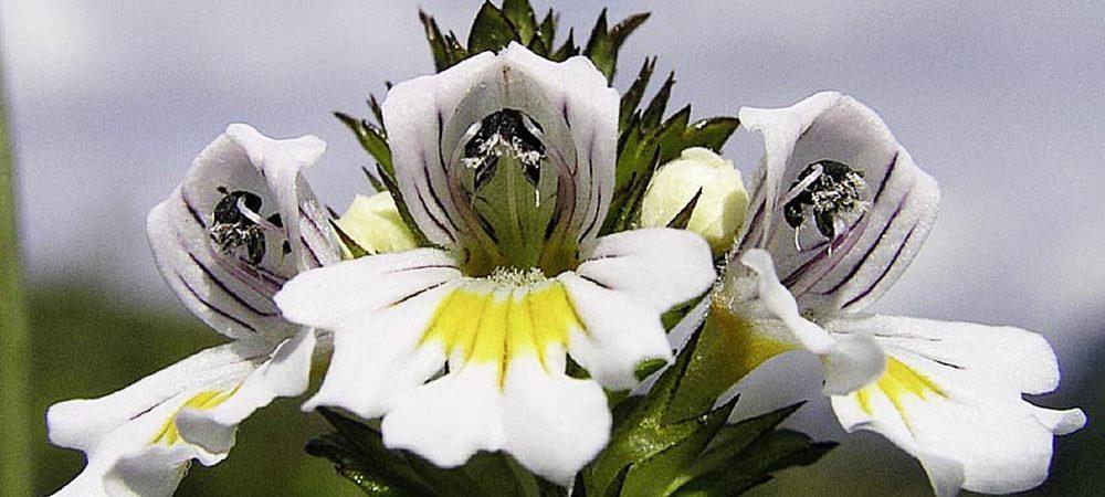 Augentrostblüte