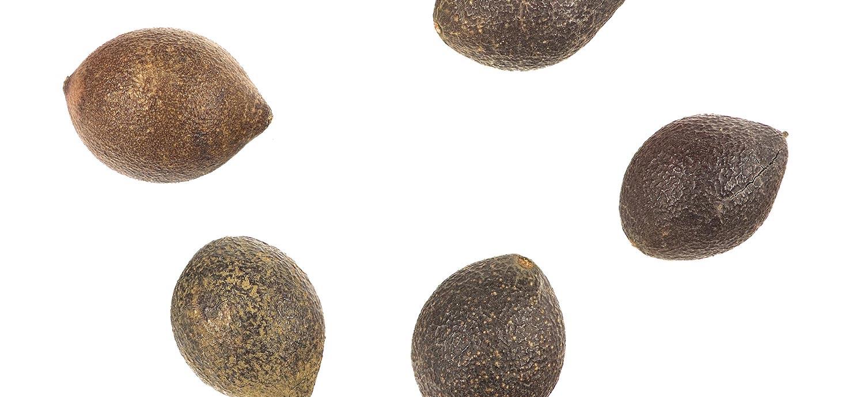 Avellananüsse, aus denen Avellananussöl gepresst wird