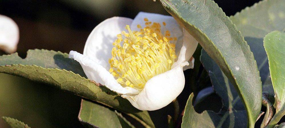 Blüte des Teestrauchs (Grüner Tee, Camellia sinensis)