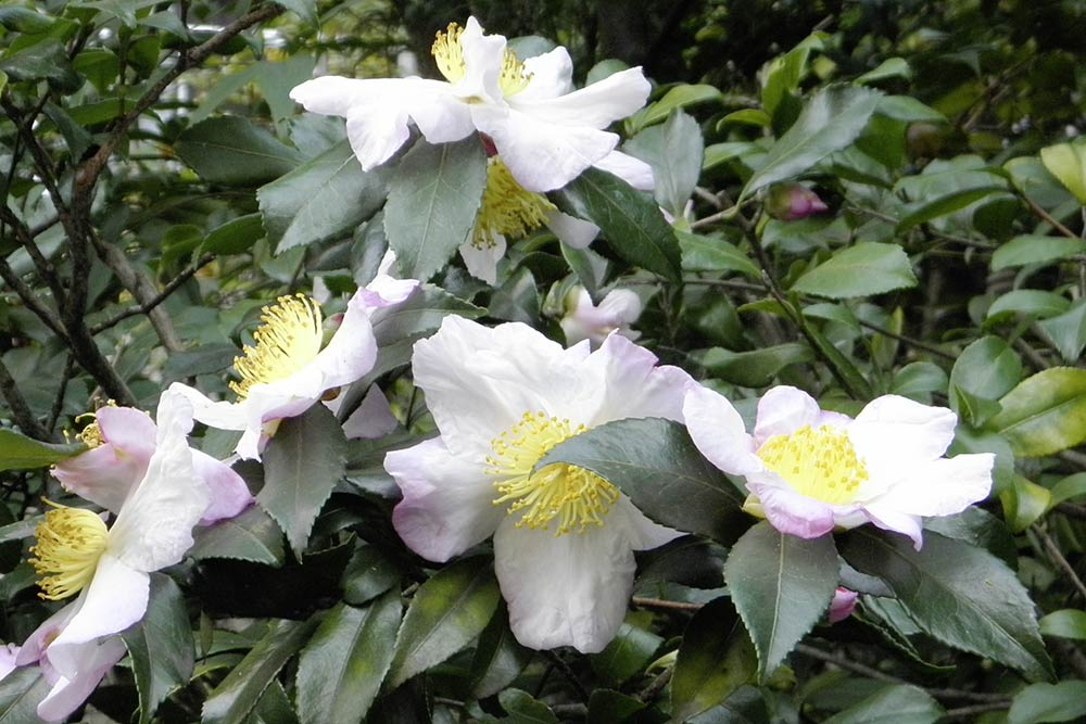 Teestrauch (Grüner Tee, Camellia sinensis)