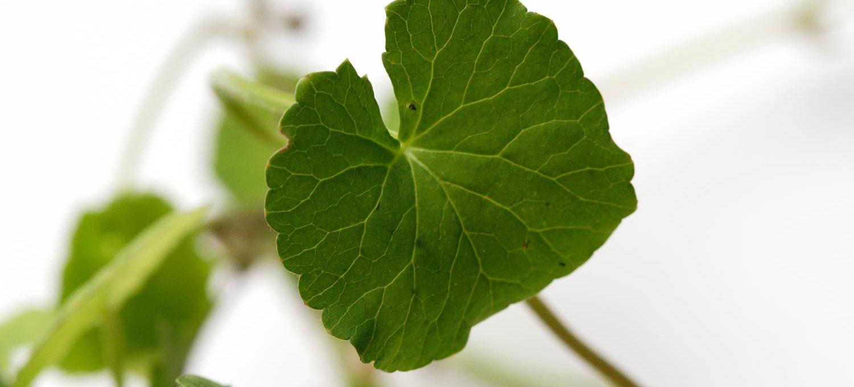 Blatt der Centella asiatica