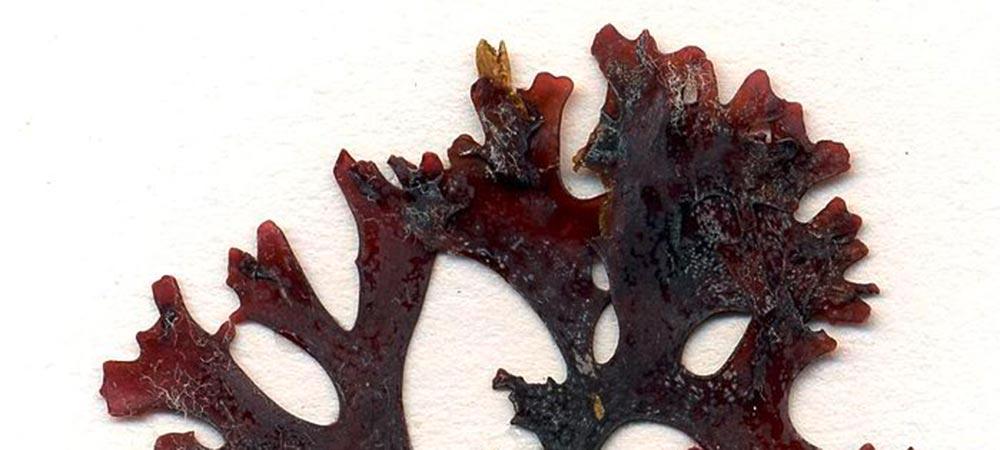 Chondrus Crispus (Irisch Moos) © Gabriele Kothe-Heinrich