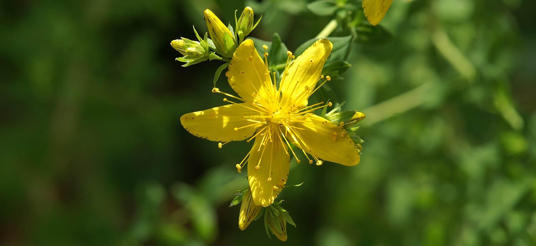 Blüte des Echten Johanniskraut