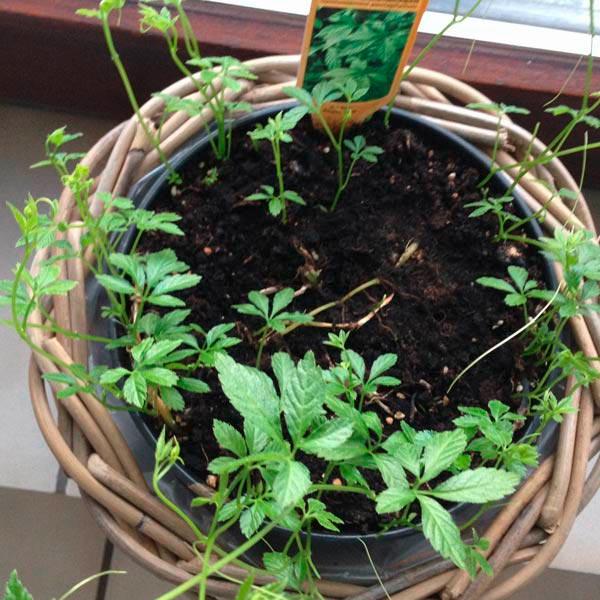 Frisch austreibende Jiaogulanpflanze