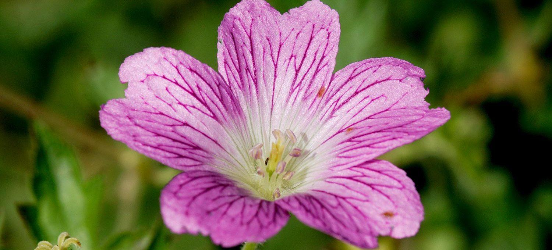 Blüte der Malve