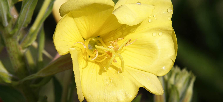 Blüte der Großen Nachtkerze