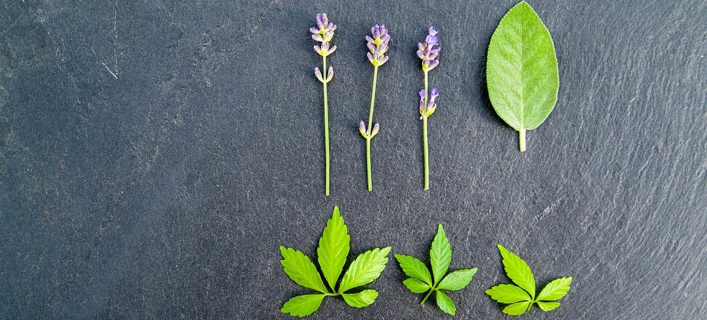 Lavendel, Salbei und Jiaogulan