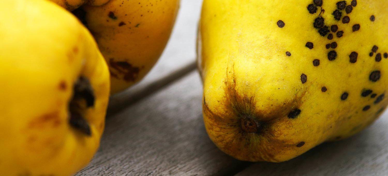 Reife Früchte der Quitte