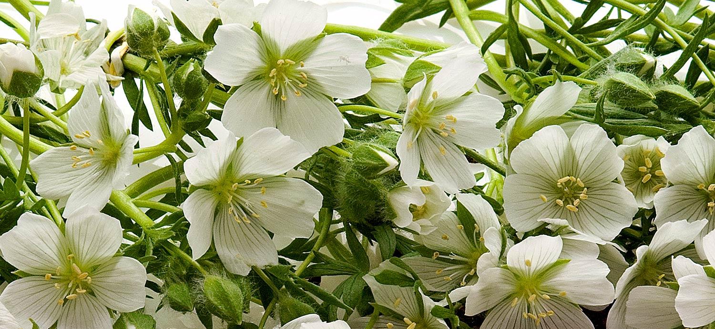 Wiesenschaumkraut, Blüten