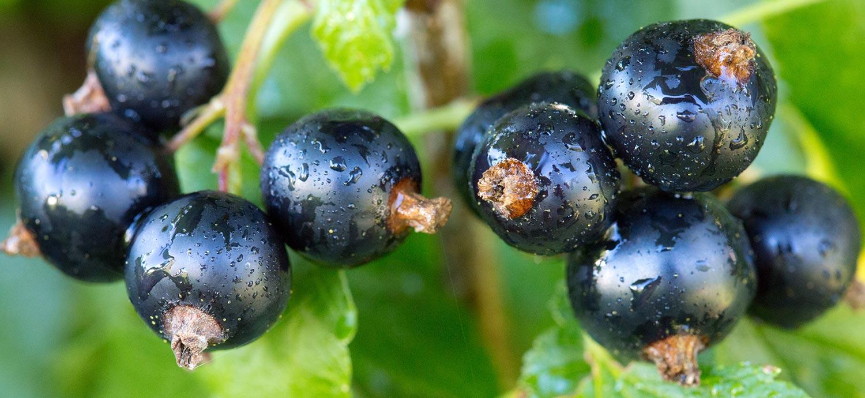 Johannisbeeren, aus deren Samen Johannisbeersamenöl gepresst wird