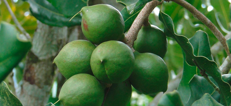 Macadamianüsse am Baum