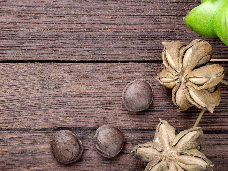 Sacha-Inchi-Samen, aus denen Sacha-Inchi-Öl gepresst wird